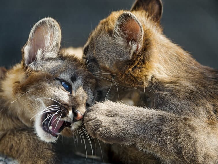 Cougar Cubs Playing